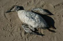 Dead Common Murre on the beach.