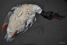 Bird apparently died not able to swallow the spiny rockfish it caught, nor to eject it.