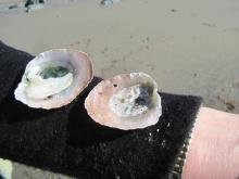 We found 4 of these pretty shells on our beach walk today.