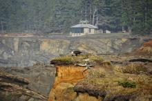 Bald Eagle on the cliffs just south of Simpson's cove. The Shore Acres Observation Post (or Room or whatever it's called) is in the background.