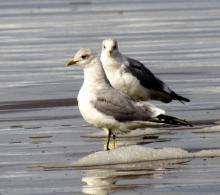 Mew gulls (Larus canus) on Nye Beach
