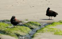 Two oystercatchers grooming by a rivulet emptying into the ocean