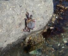 Purple Shore Crab posing on rock