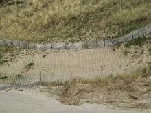 new beachgrass planted behind the drift fence at the base of the cliff