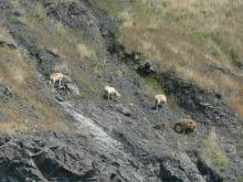 Grazing goats . . .