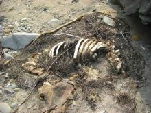Carcass of Sea Lion