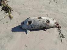 Seal with hindquarters missing, entrails protruding. Also note large (3-5 inch diameter) areas of missing skin, one with entrails also emerging.