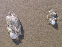 clear, whitish jellyfish washed up. Hard knob at one end.  Hand size or smaller