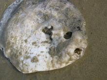 """Almost 13"""" round with apparent flat teeth.  Large eyes and fins may have been eaten or decomposed.  Low outgoing tide."""