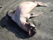 I'm guessing it's a newborn sea lion, about 3-4 ft in length