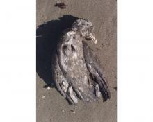 Dead Northern Fulmar at the surfline.  Only dead bird observed.