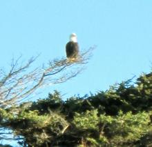 This beautiful bald eagle was beach watching as we walked north from Lost Creek.  He continued to perch there for over an hour.