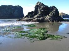 The boulders in this area had a thick growth of Phyllospadix (Sea Grass)and the sand has covered the boulders and is in the process of covering the Phyllospadix as well.
