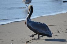 A rare sight on this mile was this pelican
