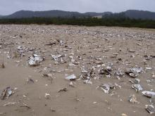 I guess I hadn't noticed this before, or it's new: I was a little confused to see all these oyster shells here on the bulldozed dune just west of Oregon Dunes Day Use Area, but looked online and saw that USFS scatters them for snowy plover habitat.
