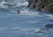 Head of a sea otter swimming towards us in a shallow inlet.