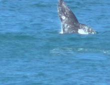 Not sure what kind of whale but was able to take a picture