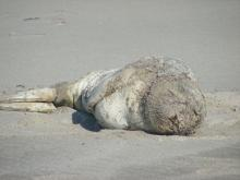 Northern Elephant Seal on the beach.   Initially, was thought to be molting but in checking with an expert, this animal probably had a skin disease as NES should not be molting at this time of year. Photo by Diane Bilderback