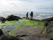 Taken at Fishing Rock February 2013 showing healthy algae.  Being accompanied by Oregon Shores Mile 23 reporter.