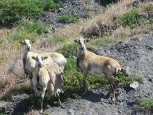 3 sheep on the beach and bluff
