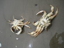 Crabs parts etc