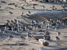 This flock of Western Sandpipers was up high on the dry sand.