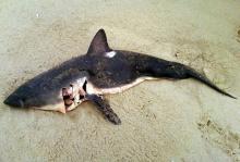 A 3-1/2 foot shark.