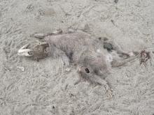 "torso probably about 20"" long; large head skeleton; fur belly exposed; black and white fur on tail"