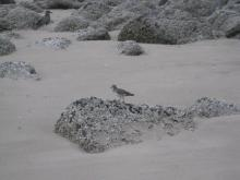 Surfbird south of Arch Cape