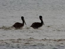 Two Pelicans enjoying the day