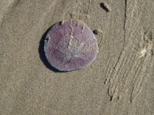 "Sand dollars haven't been seen before.  Did find one ""white"" one not intact."