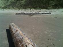 These logs had washed far up on beach beyond the usual tide line, displaying many beached barnacles.