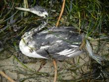 Recently dead Western grebe.