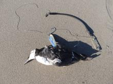 Both wings of this Common Murre were entangled in the fishing line.  We will be reporting this to the USFWS and we removed the hook and line from the beach.