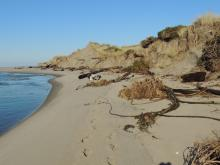 Lots of woody debris is falling out of the dunes as New River continues to carve its way north.