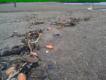 Hundreds of gumboot chitons have washed up dead in the drift line