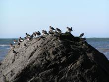 Black Turnstones on the rock