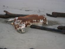 A bloated and smelly cow carcass lies in the high-tide line--not the usual beach find.