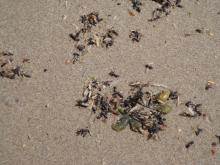large number of carpenter ants in the wrack line