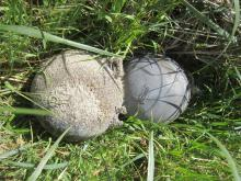 """Two larger plastic net floats approximately 12-14 inches in diameter found in the beach grass near the trail sign at the beach end of the trail. Evidently someone was """"hiding' them."""