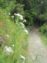 Yarrow making the mile long walk to the beach more delightful.