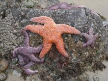 sea stars by Arch Cape