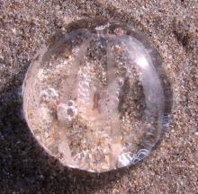 Sea gooseberry ctenophore (comb jelly) washed up on Nye Beach (mile 216). They are often seen on the beach between fall and spring.
