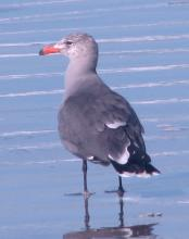 Adult Heermann's Gull (Larus heermanni)at water's edge.