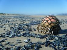 Mile 140 photo of float with gooseneck barnacles and large amounts of Velella jellyfish washed ashore.