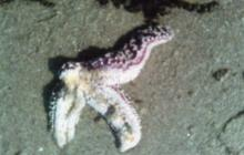 Sea star missing 2 arms, deceased
