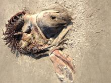 Could be a pup.  Washed ashore in this condition I think since the fur is bunched up under the body.