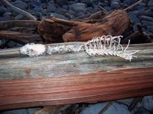 Long-necked mammal skeleton in driftwood