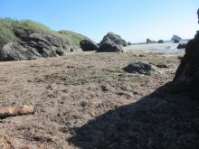 View of accumulation of seagrass and kelp at the northern end of mile 8 at Harris Beach S.P. Picnic Area.