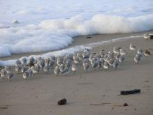 Flock of Sanderlings & Surfbirds